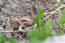 Beautiful Little Brown Frog Sits In The Grass And On The Wood In A Bright Summer Garden.