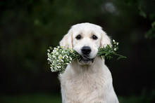 Golden Retriever Dog Holding Flowers In Mouth