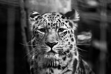 Snow Leopard Looks Focused In The Camera