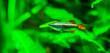 Leinwanddruck Bild - closeup of a chinese danio, popular Aquarium pet in aquaculture, tropical animal specie from Asia