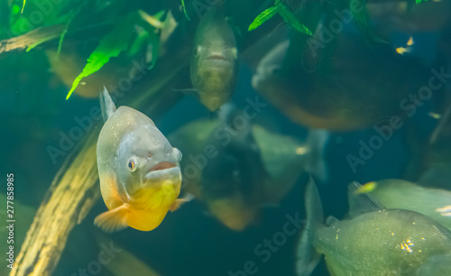closeup of a red bellied piranha with a school of piranhas in the background, tr Tablou Canvas