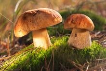 Beautiful Fresh Edible Mushrooms, Porcini Mushrooms In The Woods