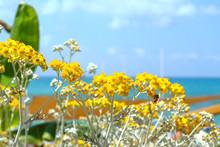 Yellow Flower Cineraria.