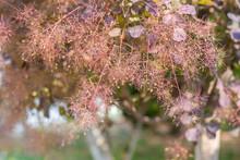 Outdoor Spring, Sassafras Flower Close-up,Cotinus Coggygria Scop. Var. Pubescens Engl.