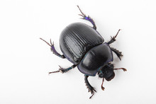 Beetle Dung Macro White Background