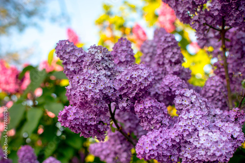 Photo sur Aluminium Lilac lilac