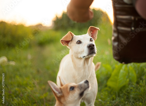 The dogs look up, waiting for the treat. Green grass background Canvas Print