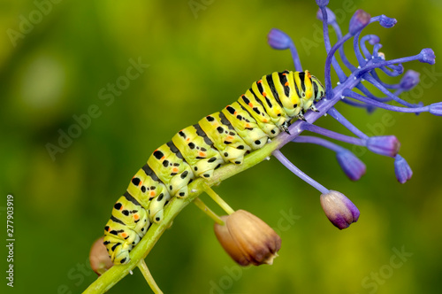 Cuadros en Lienzo  Beautiful   Сaterpillar of swallowtail - Stock Image