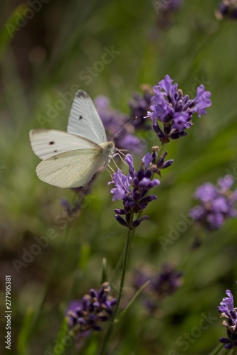 Fototapety, obrazy: White butterfly flying on lavender