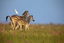 Zebra Mare And Foal Walking Away Over A Ridge With An Egret