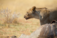 Lone Lioness Guarding Over A Carcass Against Scavengers