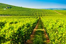 Wineyard Near Villany In Hungary