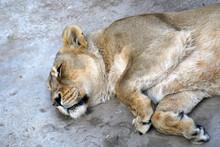 Sleeping Lioness Portrait
