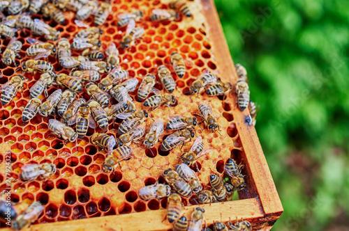Bienenstöcke eines Imkers bei der Pflege der Bienen mit Waben und Honigbienen Wallpaper Mural