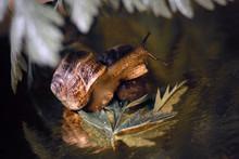 Garden Snail Crawling Among Th...