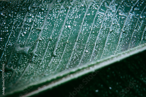 Banana leaves are fresh green with water droplets