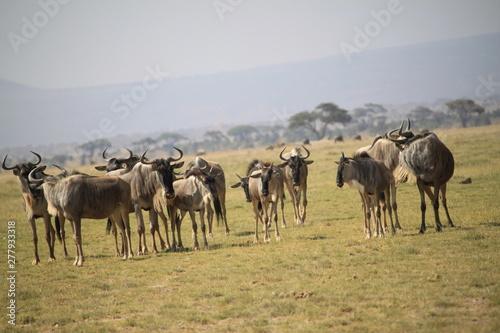 Spoed Foto op Canvas Wildebeest in the Amboseli National Park