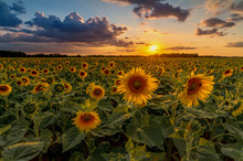 The Sunflower Helianthus Annuus Is A Species Of The Genus Of Sunflowers Helianthus In The Daisy Family Asteraceae. Concept: Flowers And Plants