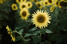 Close-up Of Sunflower Growing ...