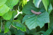 Monarch Caterpillar Resting On...