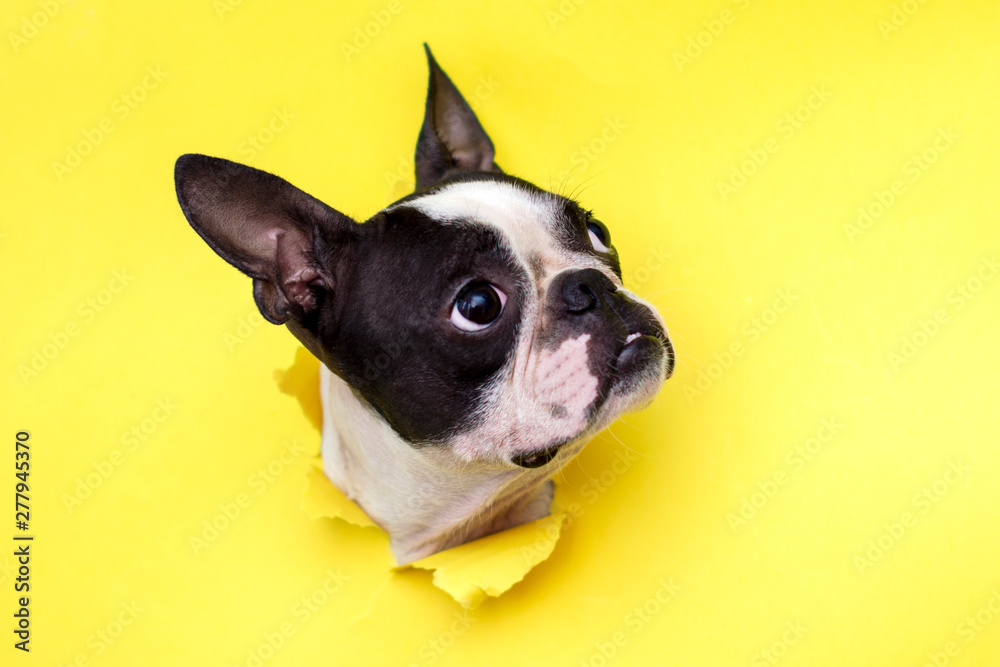 Fototapety, obrazy: Dog breed Boston Terrier pushes his face into a paper hole yellow.