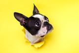 Fototapeta Zwierzęta - Dog breed Boston Terrier pushes his face into a paper hole yellow.