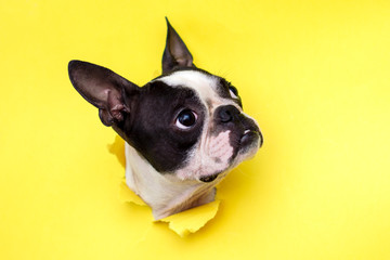 FototapetaDog breed Boston Terrier pushes his face into a paper hole yellow.
