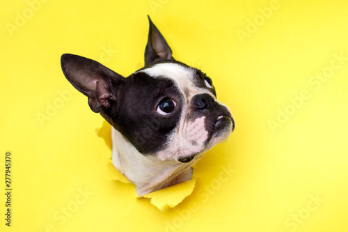 Dog breed Boston Terrier pushes his face into a paper hole yellow Tablou Canvas