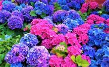 Pink And Blue Hydrangea Flowers, Purple.