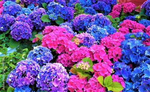 Fotografia, Obraz Pink and blue hydrangea flowers, purple.