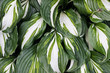Hosta plantaginea (Plantain Lily) flower bushes in garden