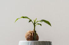 Young Baby Walnut Tree Growing From A Seed
