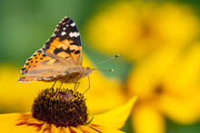 Butterfly Vanessa Cardui Sits ...