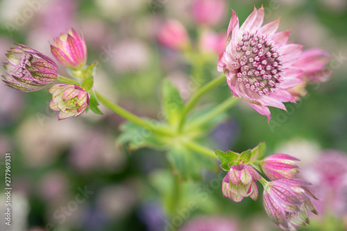 delightful astrantia in the garden Canvas Print