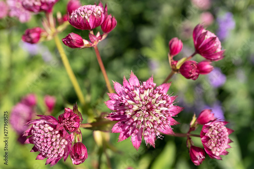 delightful astrantia in the garden Wallpaper Mural