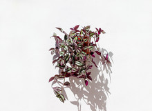 Tradescantia Zebrina Potted Plant Hanging On A White Wall