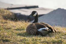 An Adult Canadian Goose In Its Natural Environment