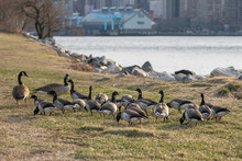 A Gaggle Of Geese In Its Natural Environment