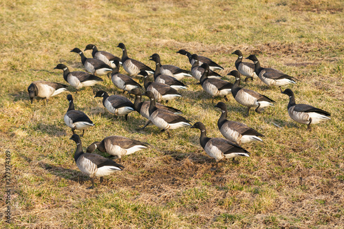 A gaggle of juvinile geese in its natural environment Fototapeta
