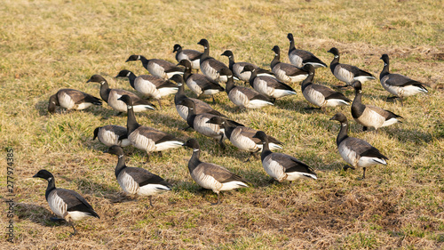 Fotografia, Obraz A gaggle of juvinile geese in its natural environment