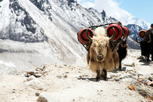 White Yak Carrying Goods Along...