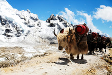Group Of Yaks Carrying Goods Along The Route To Everest Base Camp In The Himalayan Mountains Of Nepal