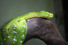 The Green Tree Python Are A Ty...