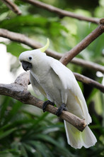 The Yellow-crested Cockatoo/th...