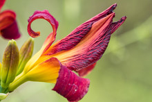 Side Close Up Of One Beautiful Deep Pink Lily Flower Blooming In The Garden With Blurry Background
