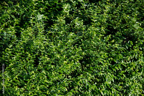 Fototapety, obrazy: texture background of green leaves