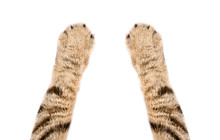 Paws Of A Cat Scottish Straigh...