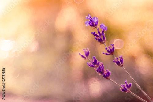delikatne kwiaty lawendy na jasnym słonecznym tle - 277998516