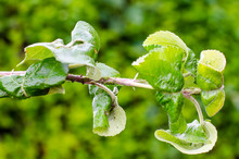 Aphids, Pests On Flowers And Fruit Trees