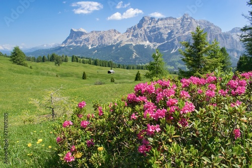 Photo sur Toile Pistache Wild flowers beautifuly blooming in mountain pasture - Dolomites Italy. Rhododendron ferrugineum - Alpenrose